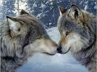 Картина стразами 'Алмазная мозайка' (набор) 246 'Два волка'