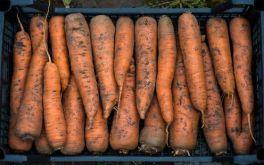 Ольшаны | Морковь оптом под ключ